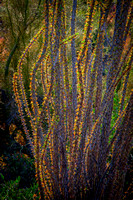 """Sunset Ocotillo"" (Crosscut Trail, Superstition Mountains, Tonto National Forest, Arizona)"
