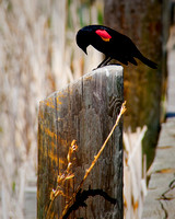"""Red-wing Blackbird"" (Ute Valley, Colorado Springs)"
