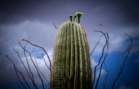 """Saguaro Storm"" (Saguaro blossom, southern foothills of Pass Mountain, Tonto National Forest, Arizona)"