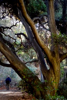 Man walking beneath tree, Monrovia Canyon