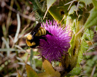 Bumble bee feeding, Santa Fe Trail, Colorado Springs