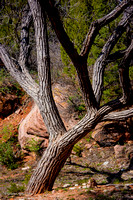 Tree balancing in front of rock, Kolob Terrace, Zion National Park