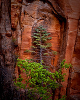 Evergreen tree framed in sandstone, Hidden Canyon, Zion National Park