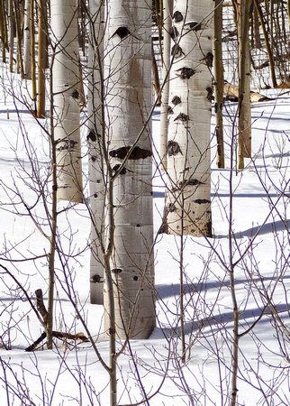 Ranks of aspen along North Taylor Creek, Sangre de Cristo Mountains, Colorado