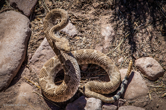 Arizona Western Diamondback Rattlesnake (Crotalus atrox, adult male), Dutchman's Trail from First Water TH, Superstition Wilderness Area, Tonto National Forest, Arizona