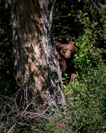 Brown bear hiding behind tree, Santa Fe Trail, Colorado Springs