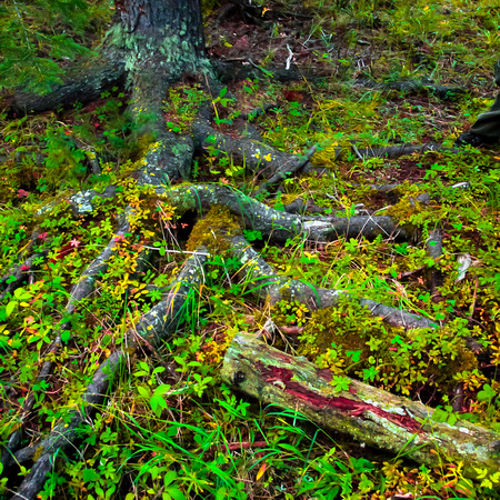 Tree roots among wildflowers, East Inlet, Grand Lake