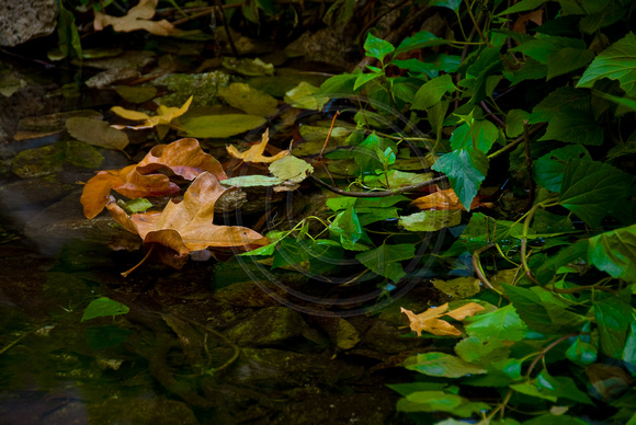 Leaf floating in pool, Mount Wilson Trail