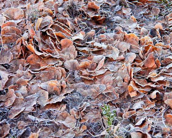 Frost on fallen leaves, Virgin River, Zion National Park